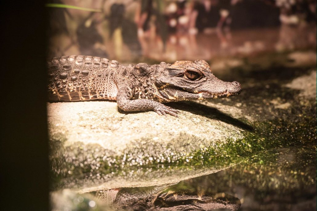 Snappy Names Chosen for Baby American Alligators – St ...